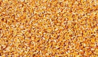 Treated Corn Seeds