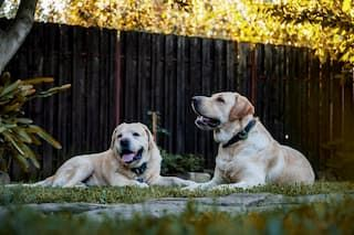 Two white labs sitting in the grass in the backyard