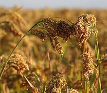 """MILLET"" HERBICIDE RECOMMENDATIONS"