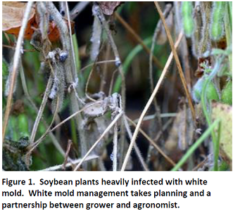 White Mold in Soybeans - What to do in 2018?