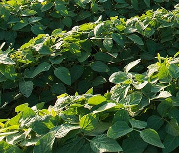 SOYBEAN WHITE MOLD FUNGICIDES
