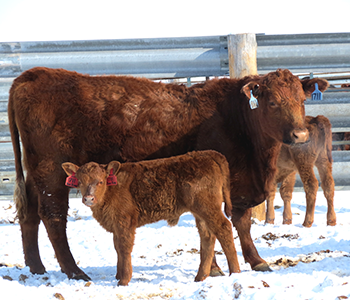 MAKING MINERAL DECISIONS DURING CALVING AND PRE-BREEDING SEASON