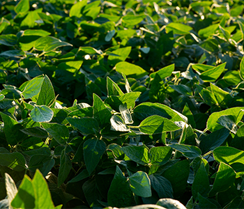 ENLIST E3™ SOYBEANS UP AND GROWING