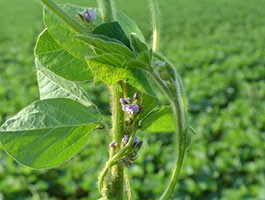 Managing White Mold