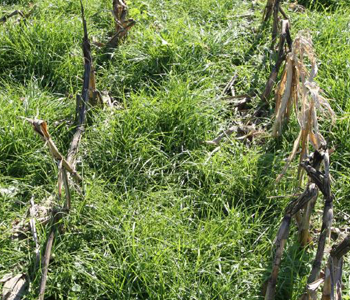 Spring Cover Crop Burndown Tips