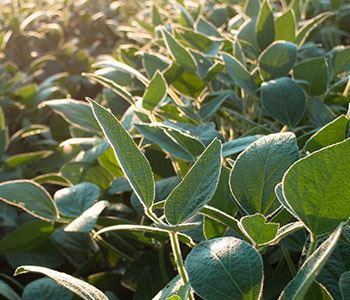 Decision Time on Soybeans is Here