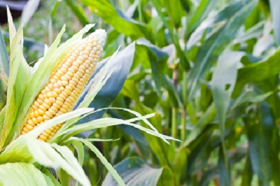How to Help Corn Get Off to a Fast Start