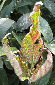 Impacts from Soybean Diseases