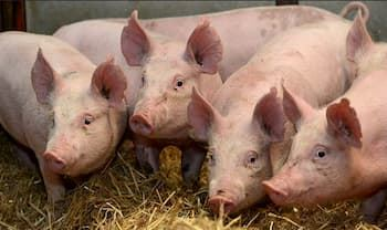 Four pigs looking towards camera in straw