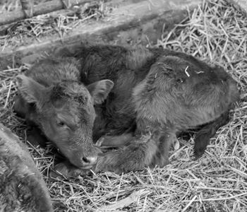 The 3 C's of a Successful Calving Season: