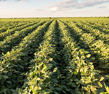 2017 Soybean Tissue Trends