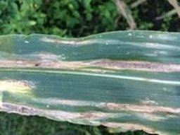 Watch Out: Possible Corn Diseases