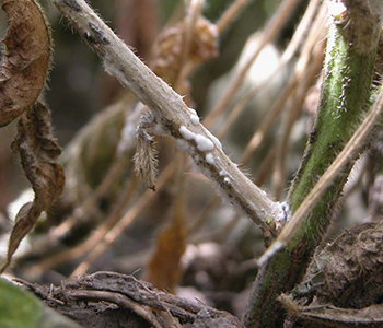 Prevention is Key to Limiting Impact of White Mold
