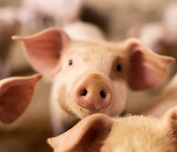 Not All Pigs Are Created Equal: Working with Small Piglets