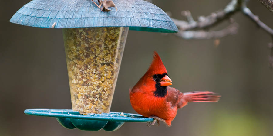 Cardinal Sitting On Bird Feeder