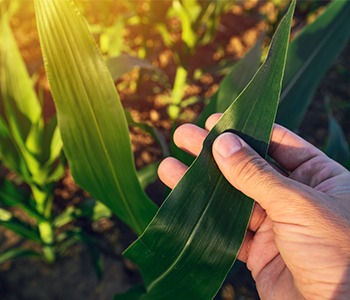 Managing Corn Disease? These 4 Questions Can Help