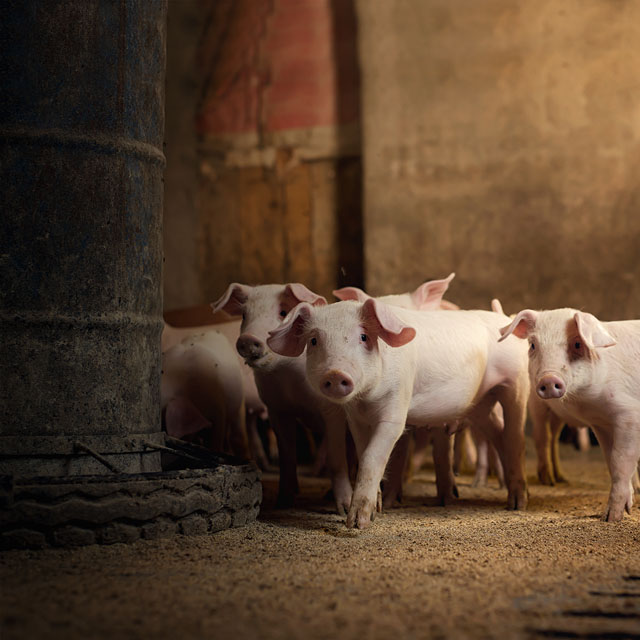 pigs at feeder