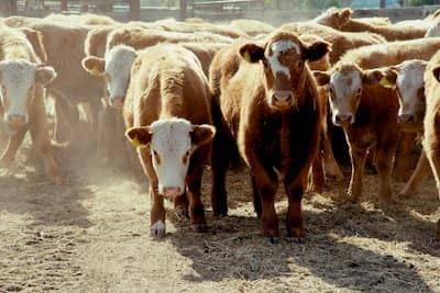 Beef Cattle in a yard