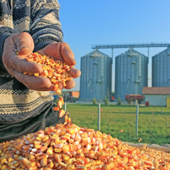 photo of corn