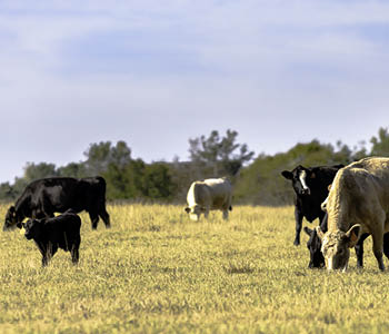 Five Strategies for Cow-Calf Management in Drought Conditions