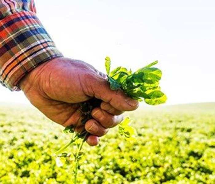 Alfalfa in Hand