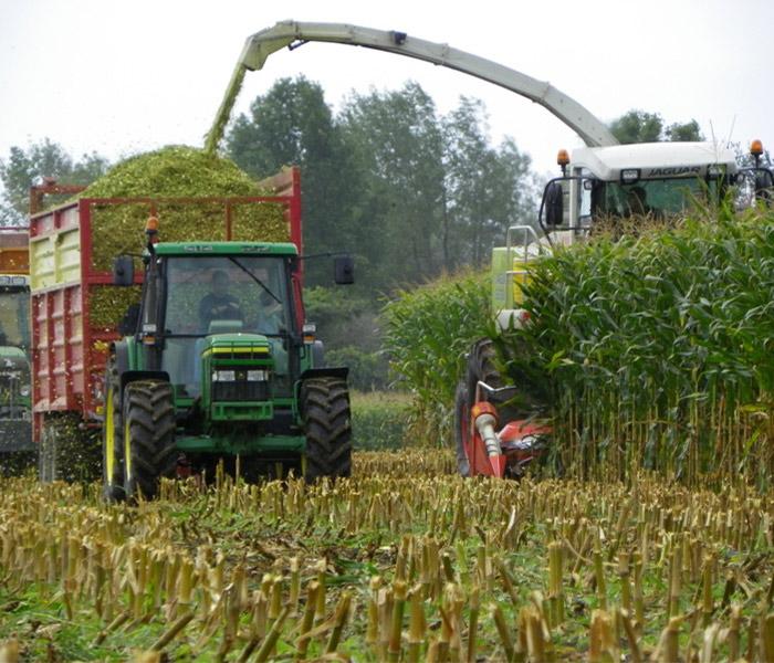 Chopping Corn