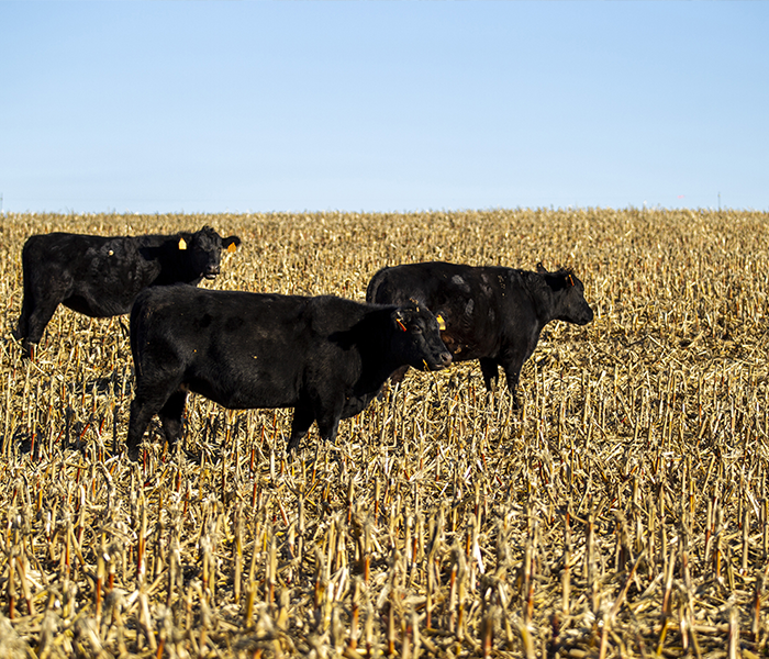 cattle in harvested field