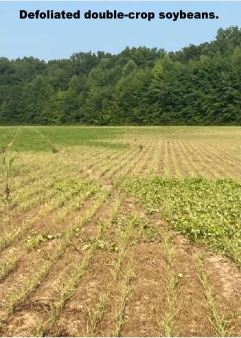 Defoliated double-crop soybeans.