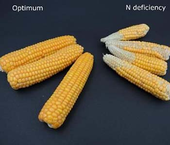 Nitrogen Loss and Wet Conditions on Corn