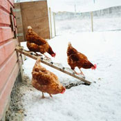 Winterizing Your Chicken Coop